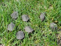 A group of baby painted turtles in grass stock images