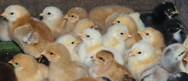 Group of newly hatched domestic chicks Stock Photo