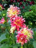 Group of nice Dhalias bloomimg in the garden. Nice flowers in the garden in mid spring. Image enchanting beauty of nature stock photography