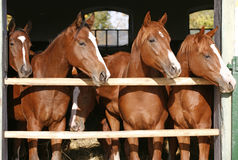 Group of nice thoroughbred foals looking over stable door Royalty Free Stock Photo