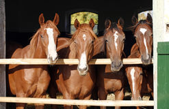 Group of nice thoroughbred foals looking over stable door Stock Photography
