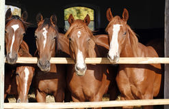 Group of nice thoroughbred foals looking over stable door Stock Photos
