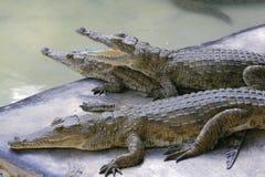 Group of Nile crocodile babies, Crocodylus niloticus, resting under the sun. royalty free stock photos