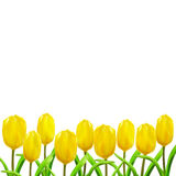 Group of nine bright yellow tulips Royalty Free Stock Images