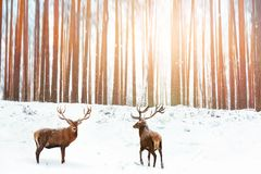 Group of Noble red deer in the background of a winter fairy forest. Snowing. Winter Christmas holiday image.  royalty free stock photos