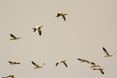 Group of Northern Gannets in flight Stock Photos