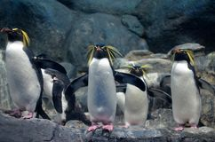 A group of northern rockhopper penguin with a menacing gaze and spread wings standing on the rocks and looking forward stock photos