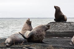 Group Northern Sea Lion (Eumetopias Jubatus) on rookery. Kamchat Royalty Free Stock Image