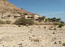The Nubian ibexes in the desert near the building. stock image