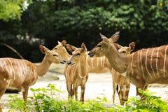 Group of Nyala Antelope royalty free stock images