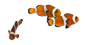 Group of Ocellaris clownfish, Amphiprion ocellaris, isolated royalty free stock photo