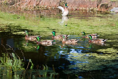 Group od Mallards Swimming. Mallards swimming back and forth in a swamp Stock Images