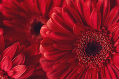 Group od red gerberas, macro photography and flowers background.  Stock Photos
