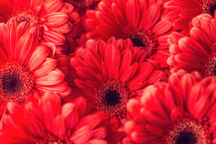 Group od red gerberas, macro photography and flowers background.  Royalty Free Stock Images