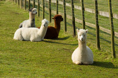 Group Of Alpaca By Diagonal Fence In Field Resting Lying Down Brown And White Royalty Free Stock Photo