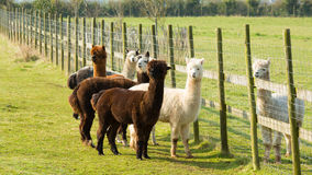 Group Of Alpaca By Fence In A Field Standing Brown And White Stock Image