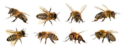 Group Of Bee Or Honeybee On White Background, Honey Bees Stock Photos