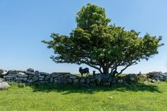 Group Of Black Sheep Seeking Shelter And Shadow From The Sunlight Under An Old Tree Royalty Free Stock Images