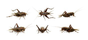 Free Group Of Cricket On White Background., Insects. Animals Stock Image - 139037041