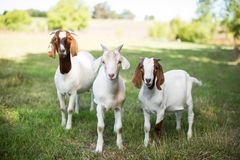 Free Group Of Cute Baby Goats In A Grassy Field At The Time Of Pasture Royalty Free Stock Photos - 166594788