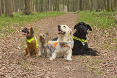 Group Of Dogs Are Wearing A Reflective Vest. Stock Photos
