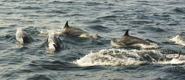 Free Group Of Dolphins, Swimming In The Ocean  And Hunting For Fish. Stock Photo - 65645730