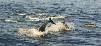 Free Group Of Dolphins, Swimming In The Ocean  And Hunting For Fish. Royalty Free Stock Image - 65647006