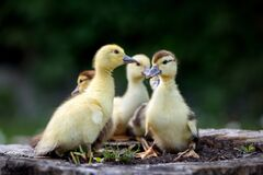 Free Group Of Ducklings Outdoors In Spring Royalty Free Stock Photography - 178581307