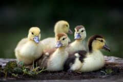 Free Group Of Ducklings Outdoors In Spring Stock Photos - 178581313