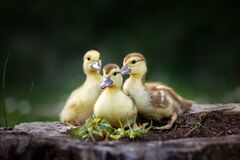 Free Group Of Ducklings Outdoors In Spring Stock Photo - 178581330