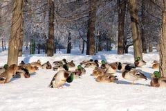 Free Group Of Ducks On Snow Royalty Free Stock Photos - 12537708