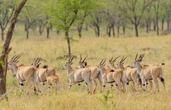 Free Group Of Eland Stock Image - 106269671