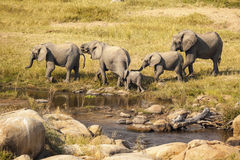 Group Of Elephants By The Water Royalty Free Stock Photos