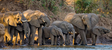 Group Of Elephants Standing Near The Water. Zambia. Lower Zambezi National Park. Royalty Free Stock Image