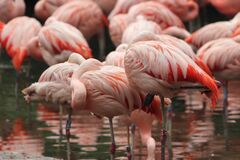 Free Group Of Flamingos Standing In Zoo In Prag In Czech. Stock Photos - 191624533