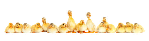 Free Group Of Fluffy Baby Ducklings Royalty Free Stock Photos - 53103008