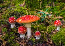 Free Group Of Fly Agaric With Red Caps On Mossy Forest Ground Royalty Free Stock Photography - 139858207