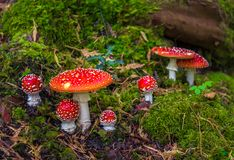 Free Group Of Fly Agaric With Red Caps On Mossy Forest Ground Royalty Free Stock Photos - 139858258