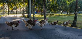 Free Group Of Free Walking Turkey Birds And Crossing A Road Stock Photos - 110645603