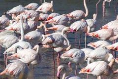 Free Group Of Greater Flamingos, Phoenicopterus Roseus, Stock Photo - 163171960