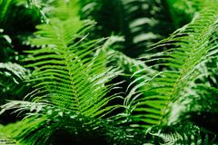 Group Of Green Fern Leaves In Sun Light In A Forest On Black Background Stock Photography