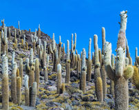 Group Of Huge Trichoreus Cactus Standing On Isla Incahuasi At Sa Stock Photos