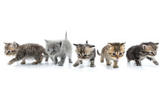 Group Of Kittens Walking Towards Together. Studio Shot. Isolated Stock Photography