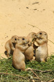 Group Of Little Baby Prairie Dogs Eating Stock Photos