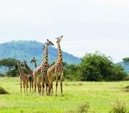 Group Of Masai Giraffe Giraffa Camelopardalis Tippelskirchi Royalty Free Stock Image