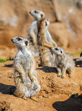 Group Of Meerkats Stock Image