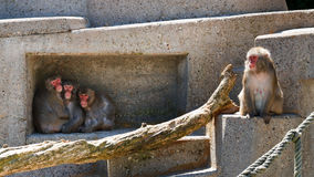 Group Of Monkeys At The Zoo Passing The Time Royalty Free Stock Image