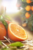Group Of Oranges And Section Close Up In Field Royalty Free Stock Photos