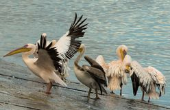 Group Of Pelicans Refreshing Themselves After A Night Rest Royalty Free Stock Image