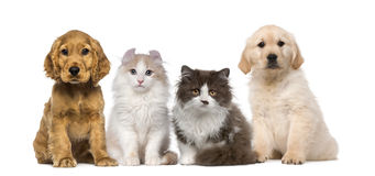 Group Of Pets: Kitten And Puppy On A Raw Royalty Free Stock Photo